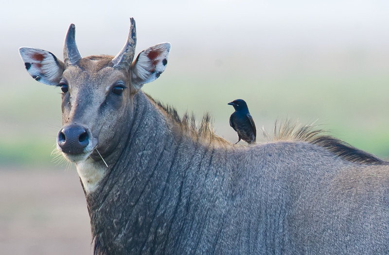 Nilgai (Boselaphus tragocamelus) and Black Drongo (Dicrurus macrocercus) at Velavadar National Park, Velavadar, Gujarat, India.