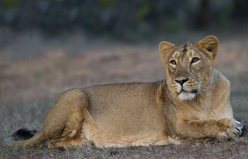 Asiatic Lion (Panthera leo persica) at Gir National Park, Sasan, Gujarat, India.