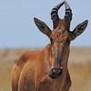 Cape Hartebeest  (Alcelaphus buselaphus caama) Etosha NP