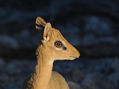 Antelope of Etosha