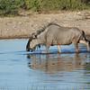 Blue Wildebeest (Connochaetes taurinus) Etosha NP