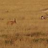 Cape Hartebeest  (Alcelaphus buselaphus caama) and Gemsbok (Oryx gazella) Etosha NP