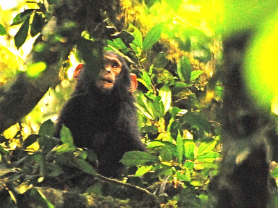 Chimpanzees of Uganda