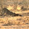 Cheetah (Acinonyx jubatus) Etosha NP