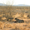 Cheetah (Acinonyx jubatus) and Black-backed Jackal (Canis mesomelas) Etosha NP