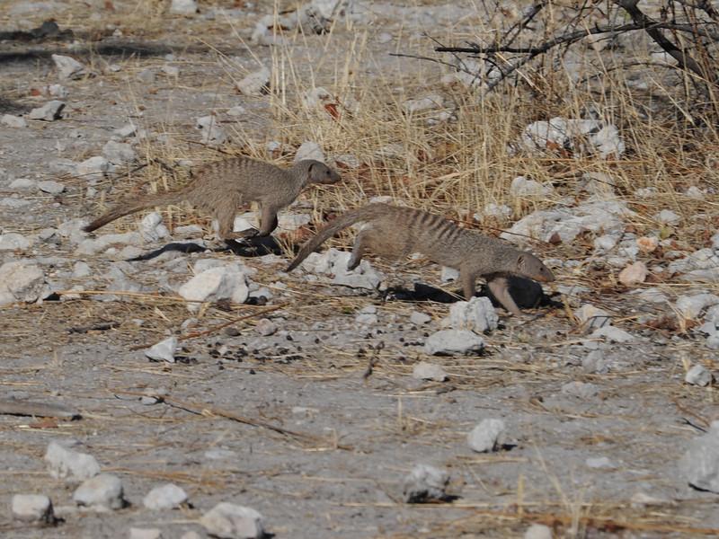 Banded Mongoose (Mungos mungo) Etosha NP