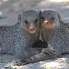 Banded MongooseBanded Mongoose (Mungos mungo) Etosha NP