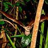 Hammer-headed Bat (Hypsignathus monstrosus) Ankasa NP
