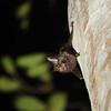 Horseshoe Bat (Rhinolophus sp.) Ankasa  NP