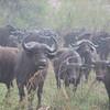 Cape buffalo (Syncerus caffer) Kruger NP