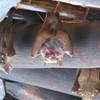 Wahlberg's Epauletted Fruit Bat (Epomophorus wahlbergi), Kruger NP.