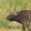 Cape buffalo (Syncerus caffer) Kruger NP.