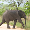 African Elephant (Loxodonta africana) Kruger NP.