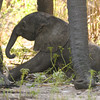 African elephant newborn trying to get up, perhaps for the first time.