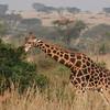 Giraffe (Giraffa camelopardalis) Murchison Falls NP