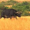 Cape Buffalo (Syncerus caffer) Queen Elizabeth II NP