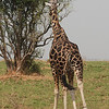 Bull Giraffe (Giraffa camelopardalis) with wire snare caught on hind leg, Murchison Falls NP