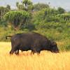Cape Buffalo (Syncerus caffer) Murchison Falls NP