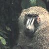 Olive Baboon (Papio anubis) Semliki Forest