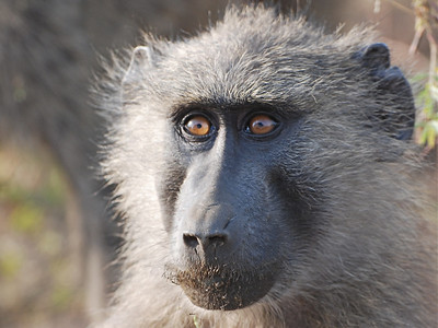 Monkeys and Baboons of Uganda