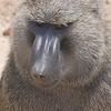 Olive Baboon (Papio anubis) Queen Elizabeth II NP