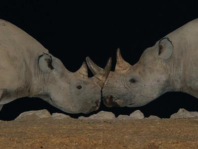 Rhinocerus of Etosha
