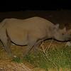 Black Rhinoceros (Diceros bicornis) Etosha NP