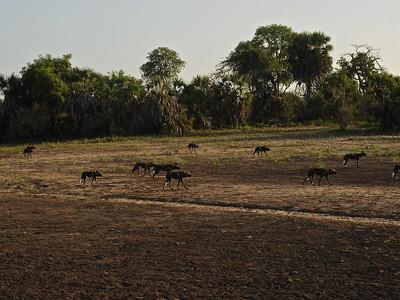 Wild Dogs of Tanzania