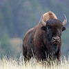 Bison, American  2015-09-17 Yellowstone 2015 077-1