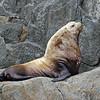 Sea Lion, Steller 2013-06-26 Alaska 360-1