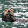 Otter, Sea 2013-06-26 Alaska 1132-1
