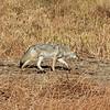 Coyote 2012-09-25 Yellowstone 563-1