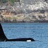 Whale, Killer 2013-06-26 Alaska 172-1
