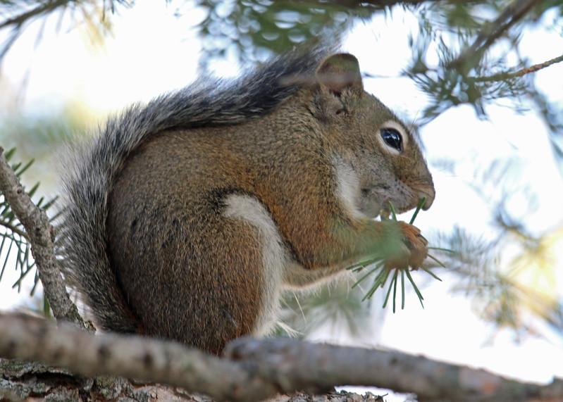 Squirrel, Red 2015-09-17 KOLA 2015 871-1