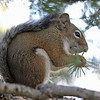 Squirrel, Red 2015-09-17 KOLA 2015 871-1