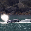 Whale, Humpback 2013-06-26 Alaska 143-1