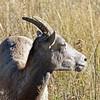 Sheep, Big Horn 2015-09-17 Yellowstone 2015 681-1