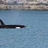 Whale, Killer 2013-06-26 Alaska 178 -1