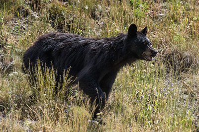 Black Bear, female (Ursus americanus)