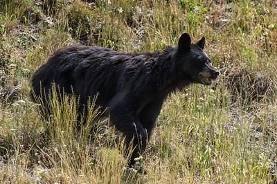 Black Bear, female (Ursus americanus)