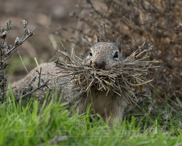 CAL_GROUND_SQUIRREL_MER_CO_CA_2018-02-11_D02_25_0252