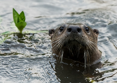 RIVER_OTTER_YBWA_YOL_CO_CA_2018-09-12_D02_25_9478