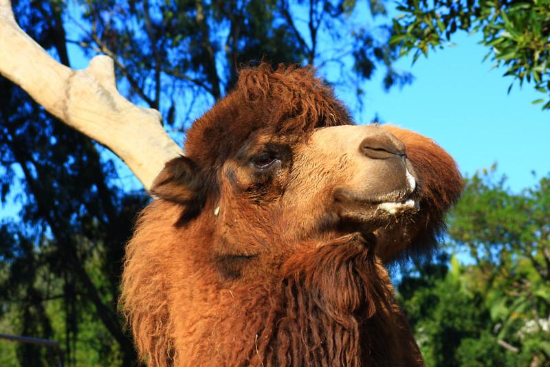 Camel (Camelus) captive