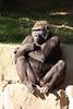 Gorilla (Gorilla gorilla gorilla) captive