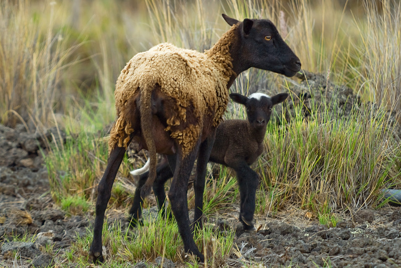 Feral sheep or hipa (H), Ovis aries, with her lamb, Pu'u wa'awa'a, Hawaii