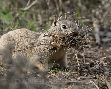 CAL_GROUND_SQUIRREL_MER_CO_CA_2018-02-11_D02_25_0248