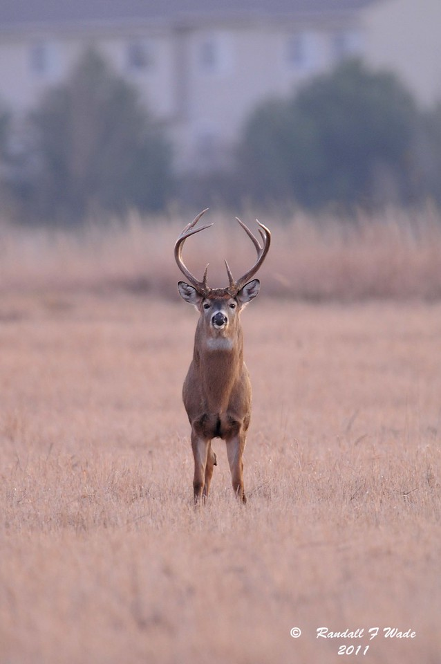 Virginia Whitetailed Deer