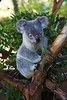 Queensland Koala (Phascolarctos cinereus) captive