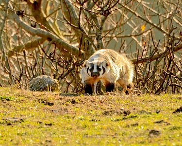 American Badger, Sonoma County, CA, 1-20-14. Cropped image.