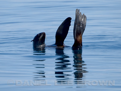 NORTHERN FUR SEAL, thermo regulating
